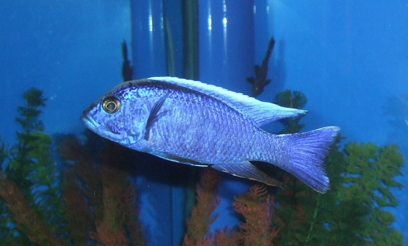 freshwater fish - sciaenochromis ahli - electric blue cichlid stocking in 280 gallons tank - My Electric Blue Cichlid.