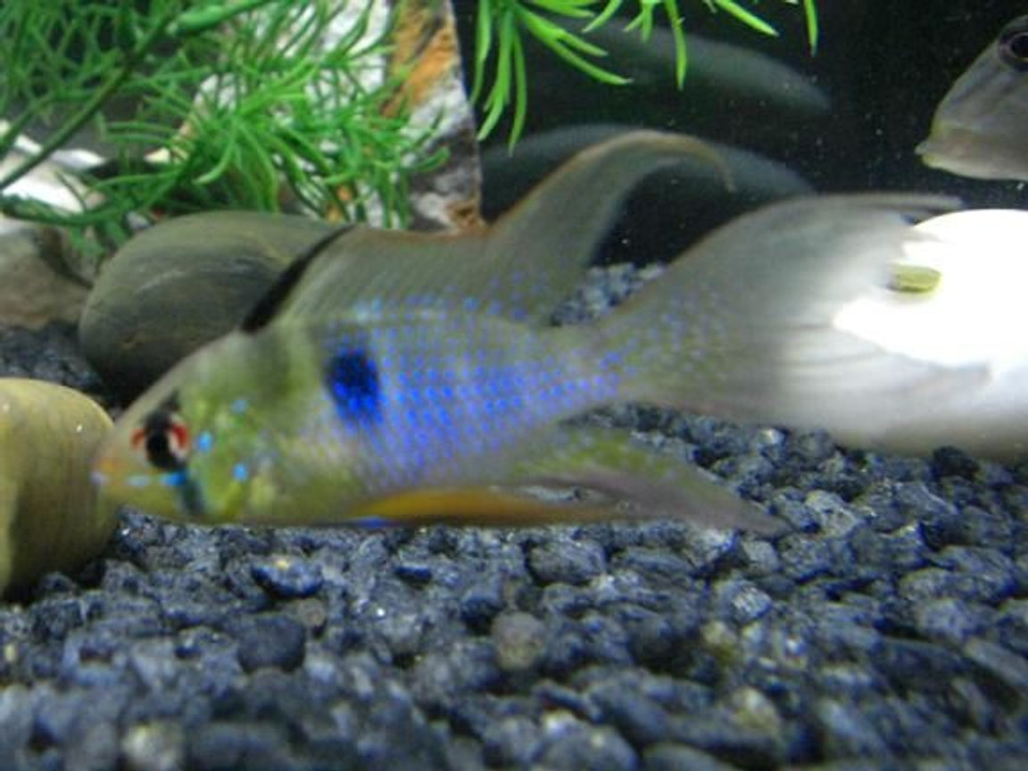 freshwater fish - papiliochromis ramirezi - german blue ram stocking in 75 gallons tank - This is one of my German Blue Rams.