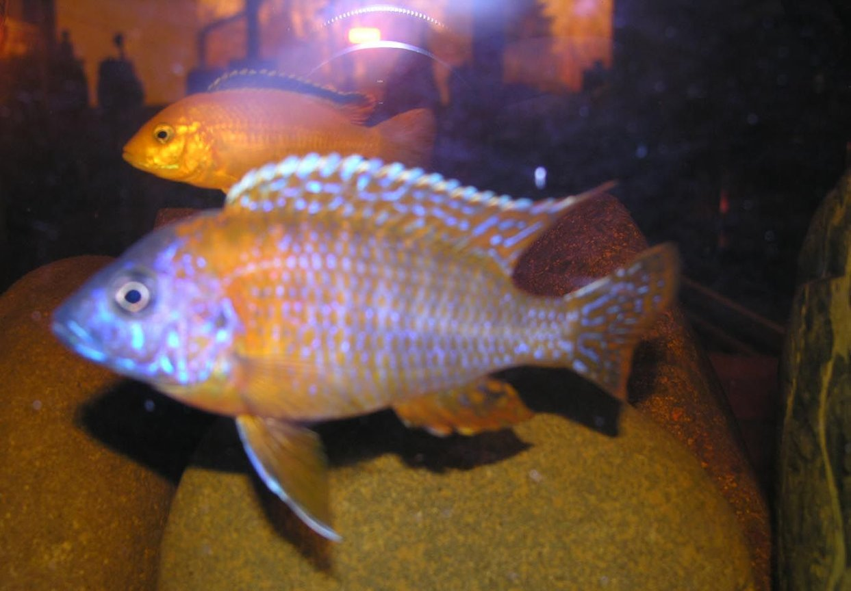 freshwater fish - protomelas taeniolatus - red empress stocking in 55 gallons tank - yellow and red