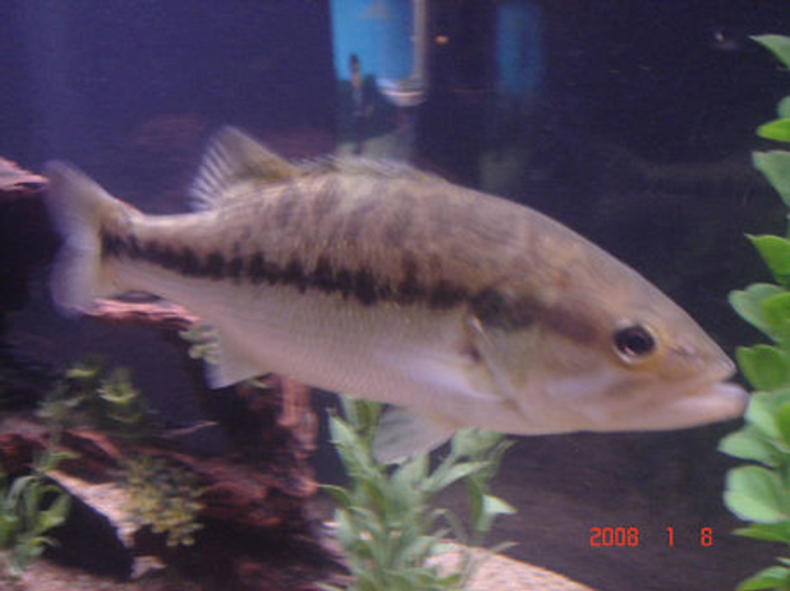 freshwater fish - micropterus salmoides - largemouth bass - love this guy