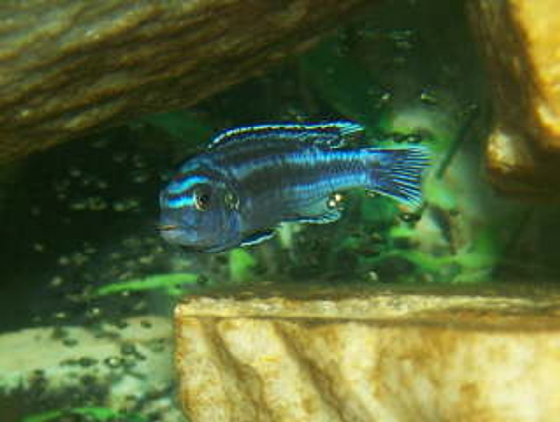 freshwater fish - melanochromis johannii - johanni cichlid stocking in 125 gallons tank - One Awesome Looking African Cichlid!!!