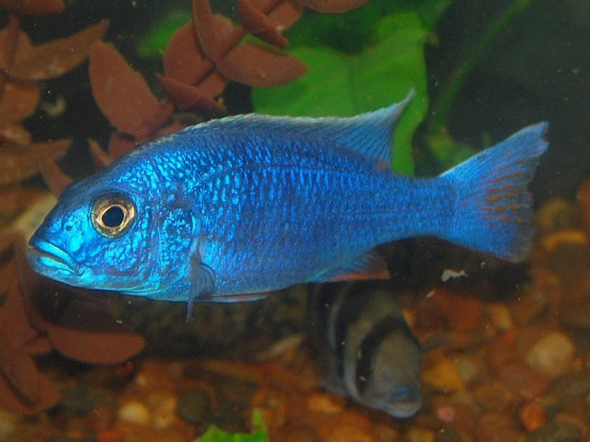 freshwater fish - sciaenochromis fryeri - electric blue hap stocking in 55 gallons tank - electric blue hap