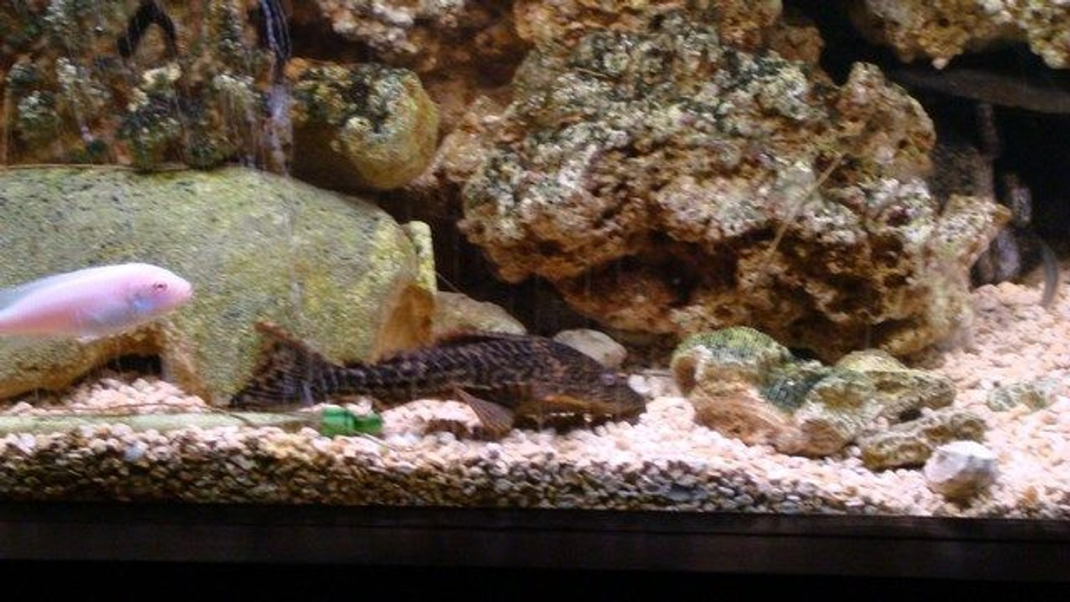 freshwater fish - hypostomus punctatus - trinidad pleco stocking in 75 gallons tank - he poOps 2 much