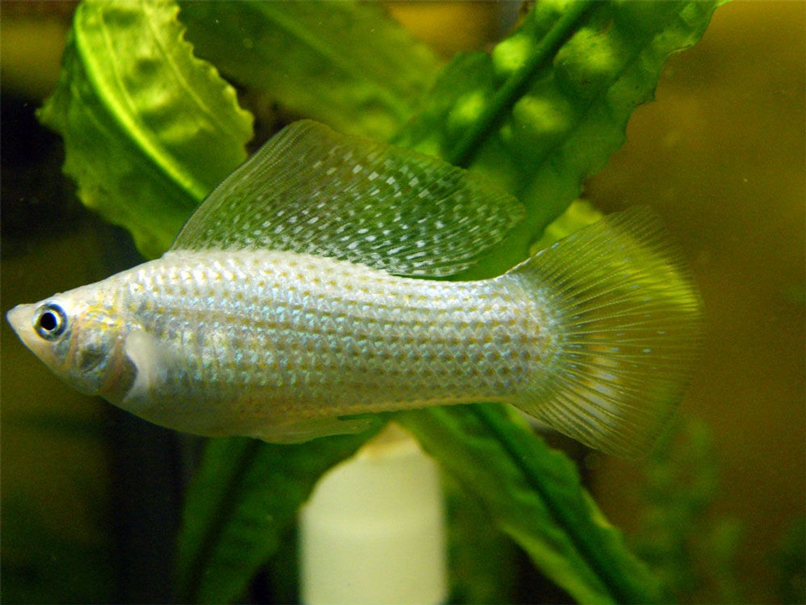 freshwater fish - poecilia latipinna - dalmatian molly stocking in 32 gallons tank - White Molly