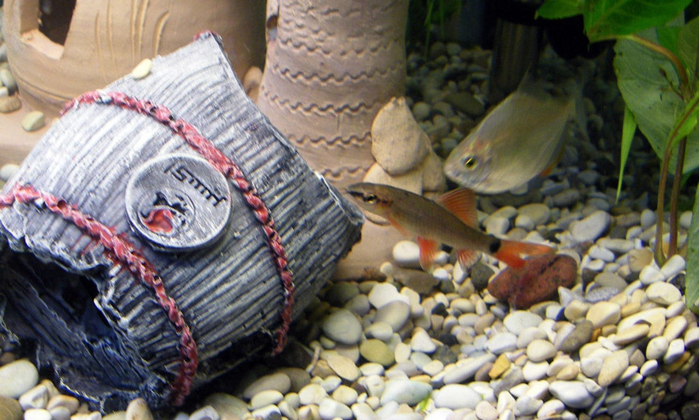freshwater fish - botia modesta - redtail botia loach stocking in 32 gallons tank - Red tail Loach