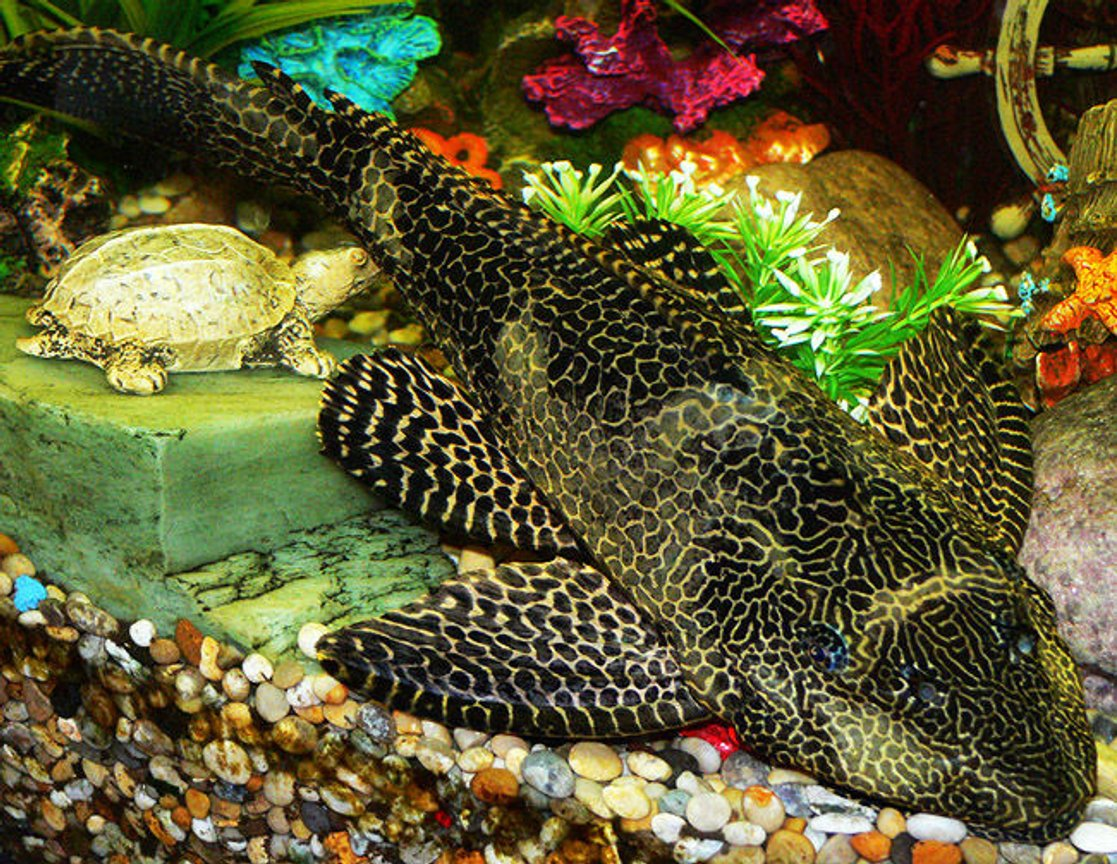 freshwater fish - glyptoperichthys gibbiceps - sailfin pleco (l-83) stocking in 50 gallons tank - Sailfin Plec, 4 years old, 15 inches in length