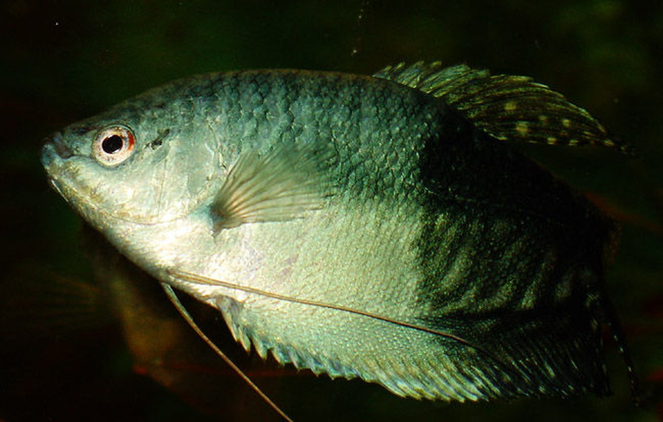 freshwater fish - trichogaster trichopterus - blue gourami stocking in 50 gallons tank - Blue Gourami, 4 years old, male