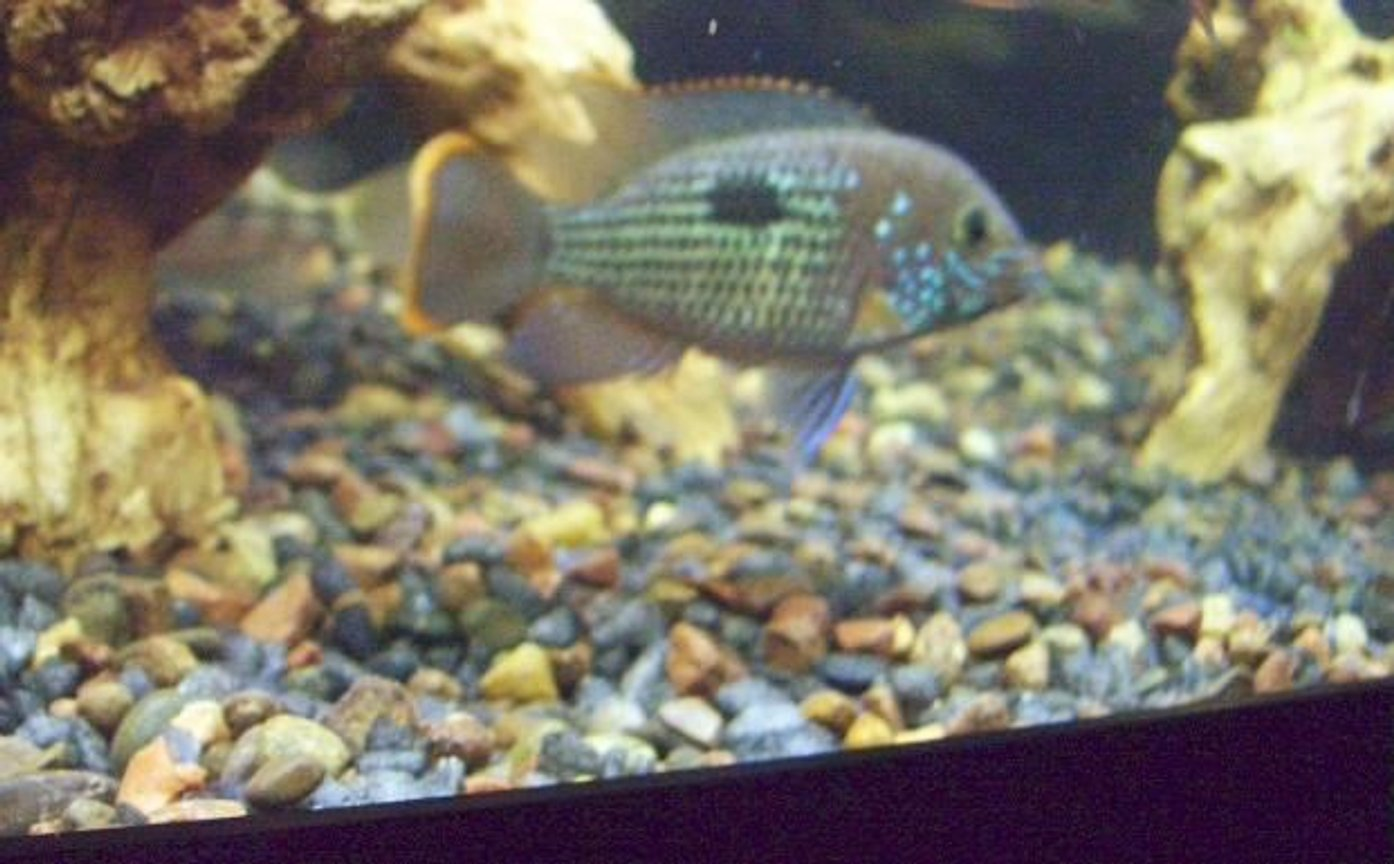 "freshwater fish - aequidens rivulatus - green terror stocking in 75 gallons tank - 4.5"" green terror"