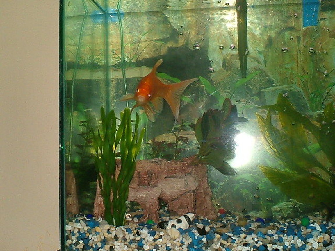freshwater fish - carassius auratus - fantail goldfish stocking in 75 gallons tank - Hi I'm Herb. I'm Just A Feeder goldfish