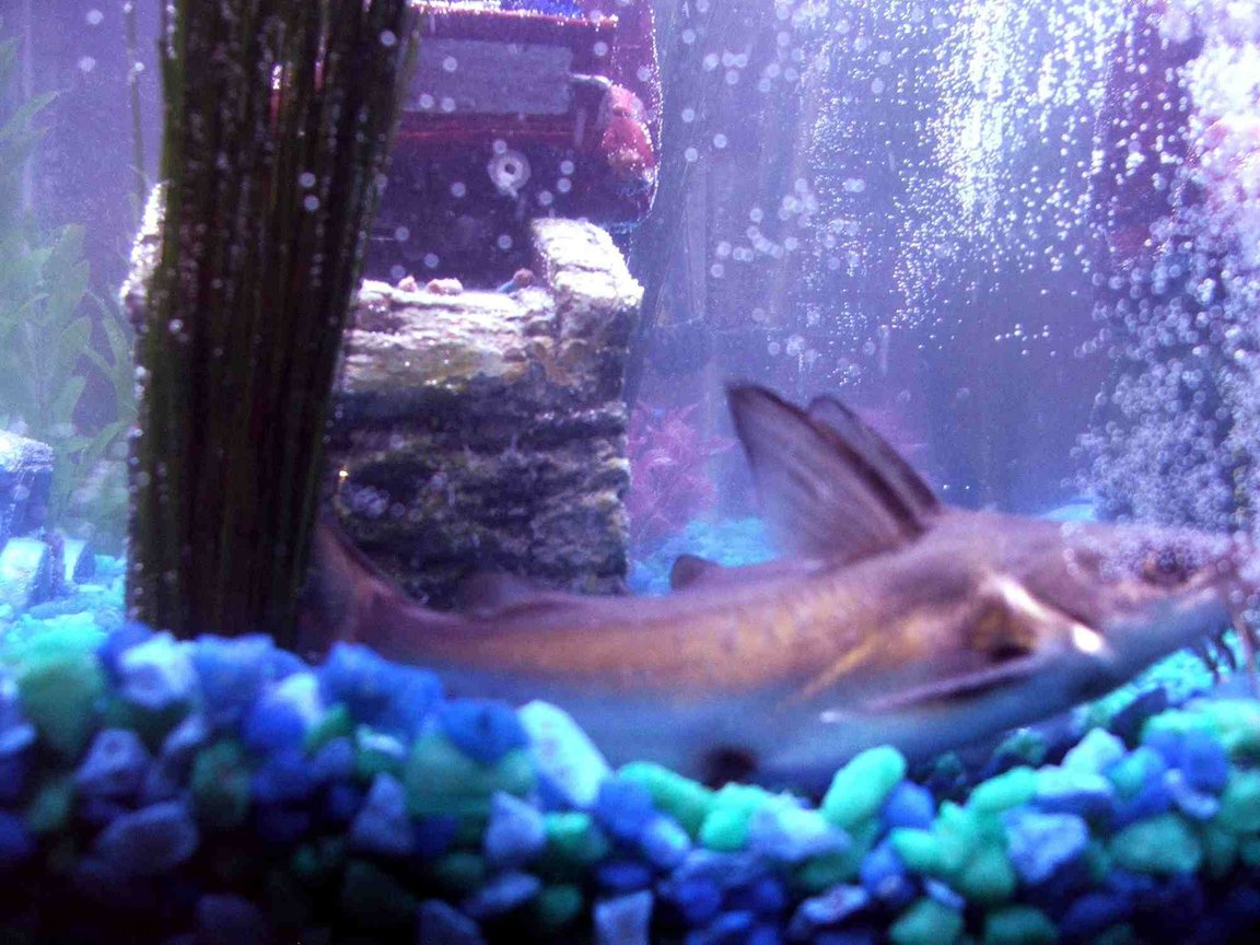 freshwater fish - balantiocheilus melanopterus - bala shark stocking in 40 gallons tank - My Two Silver Tipped Sharks...aka catfish laying next to each other. When i got them they were under a inch now there 3 inch. I have them in a 40 g tank i love these fish.