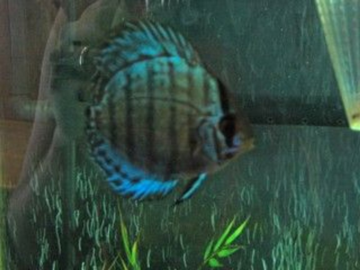 freshwater fish - symphysodon aequifasciata - tefé green discus stocking in 47 gallons tank - new discus