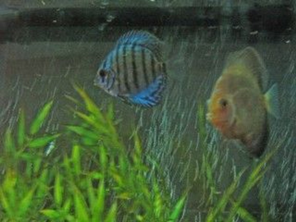 freshwater fish - symphysodon aequifasciata - royal blue discus stocking in 47 gallons tank - display