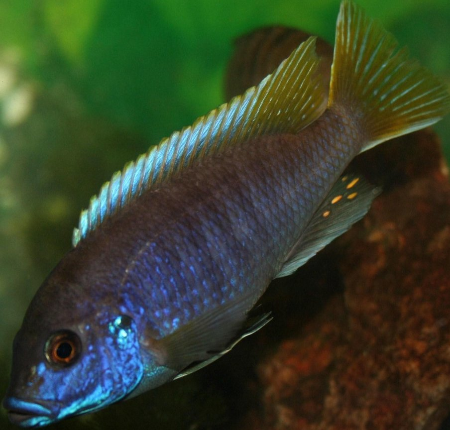freshwater fish - pseudotropheus acei - acei cichlid stocking in 29 gallons tank - Acei