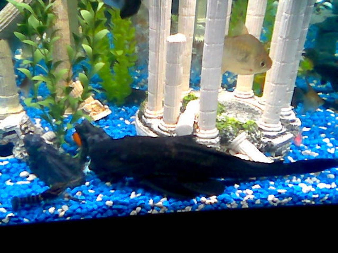 freshwater fish - metynnis argenteus - silver dollar stocking in 75 gallons tank - monster 13.5inch pleco with blue lobster and my silver doller my vary first fish over 5 years ago