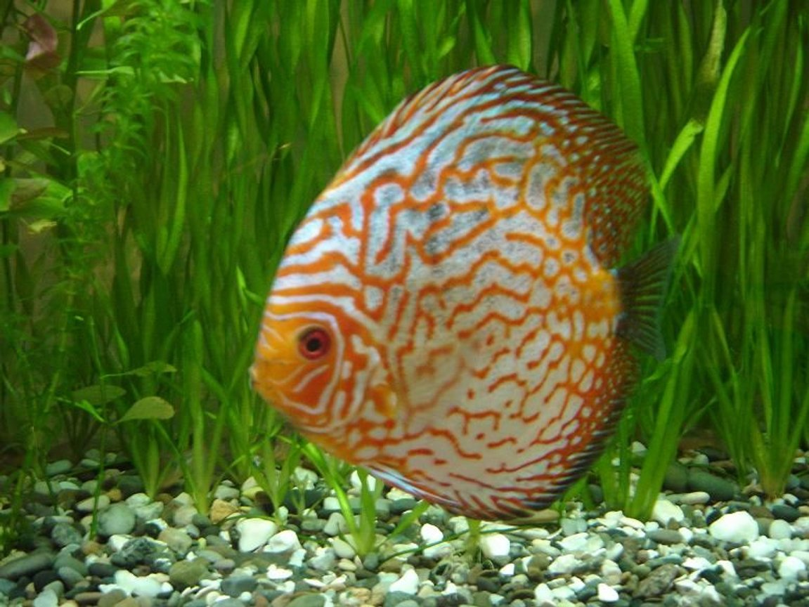 freshwater fish - symphysodon spp. - pigeon blood discus stocking in 50 gallons tank - pigeon blood discus