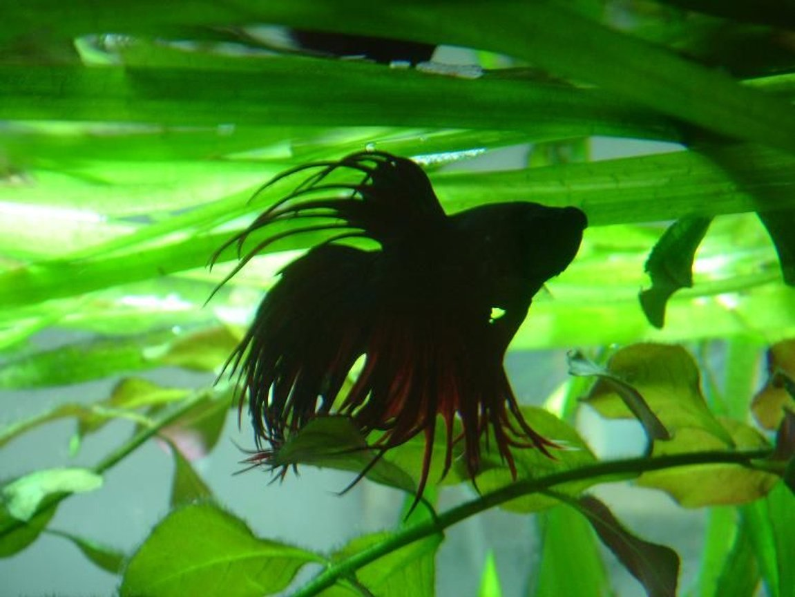 freshwater fish - betta splendens - crown tail betta stocking in 50 gallons tank - siamee fighter