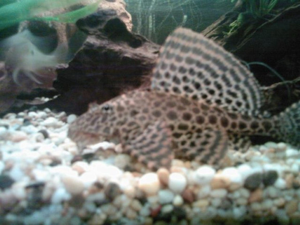 freshwater fish - glyptoperichthys gibbiceps - sailfin pleco (l-83) stocking in 70 gallons tank - sailfin pleco