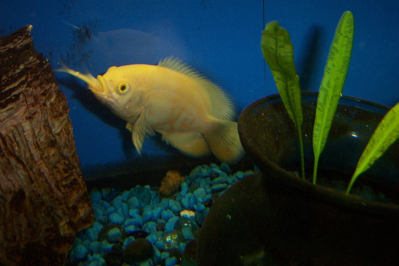 freshwater fish - astronotus ocellatus - albino oscar stocking in 55 gallons tank - White Oscar, rather hungry little guy.