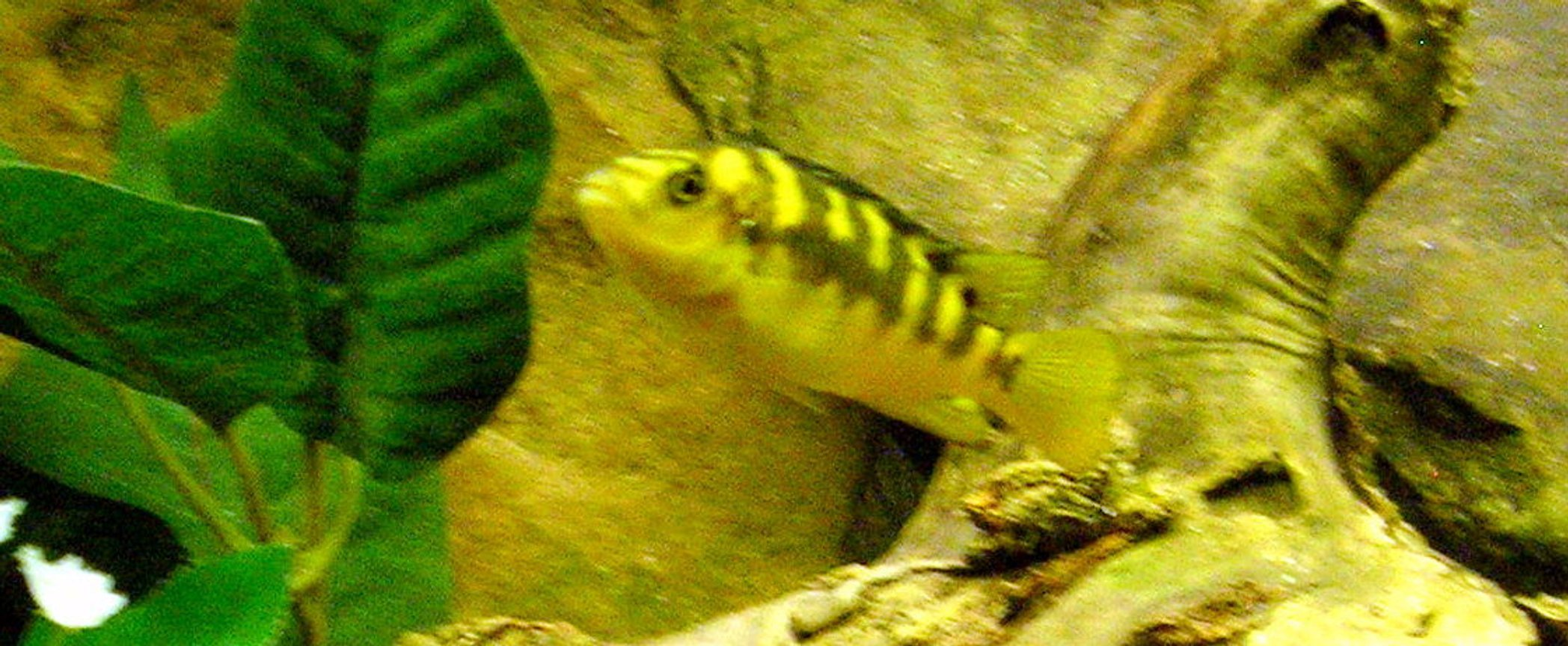freshwater fish - pseudotropheus crabro - bumblebee cichlid stocking in 29 gallons tank - Bumblebee cichlid