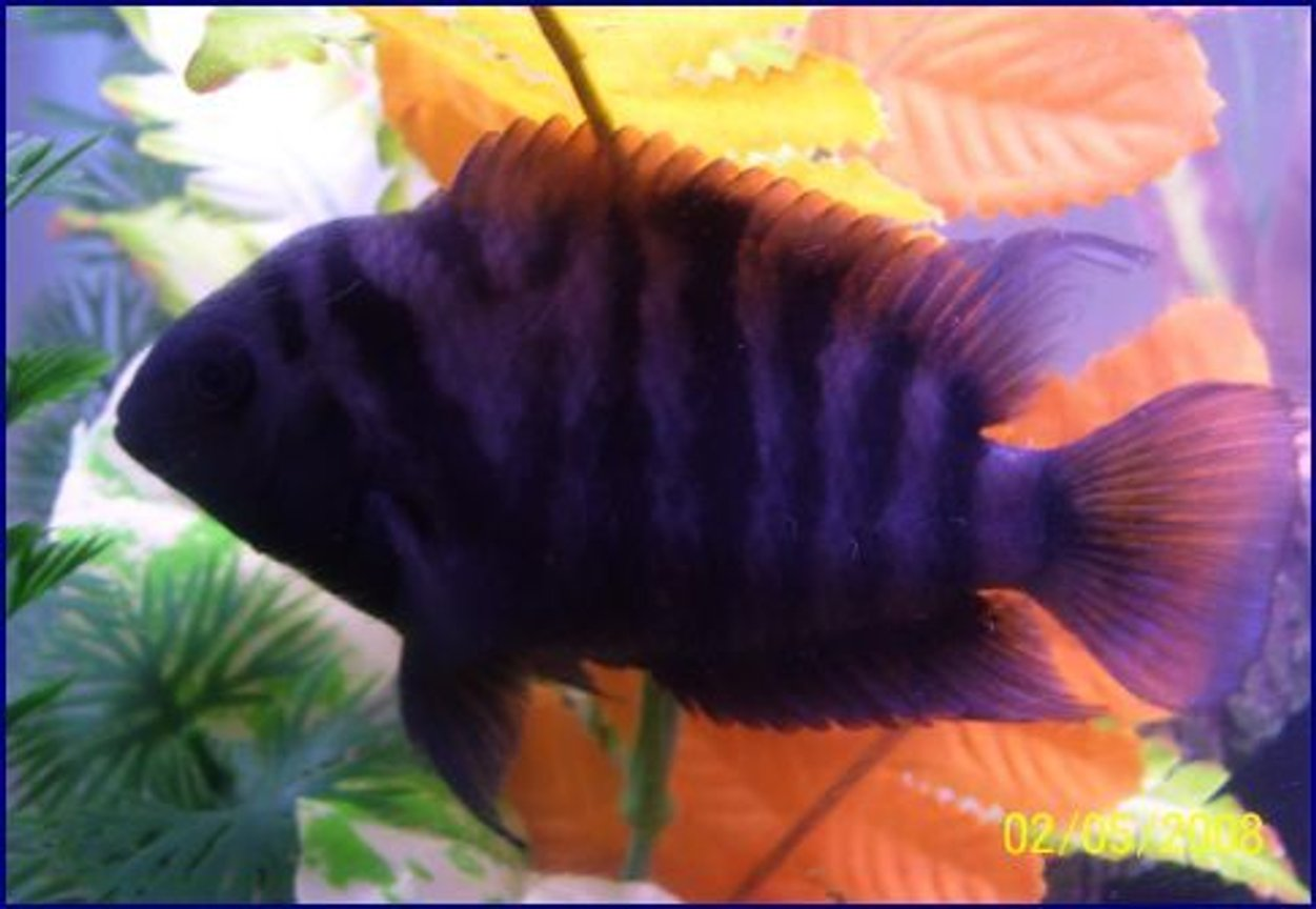 freshwater fish - archocentrus nigrofasciatus - black convict cichlid stocking in 55 gallons tank - his name is,FLASH ive had him from birth, he is about 3 inches now ,CONVICT ,,,,,I LOVE THIS PICTURE!!!!!!