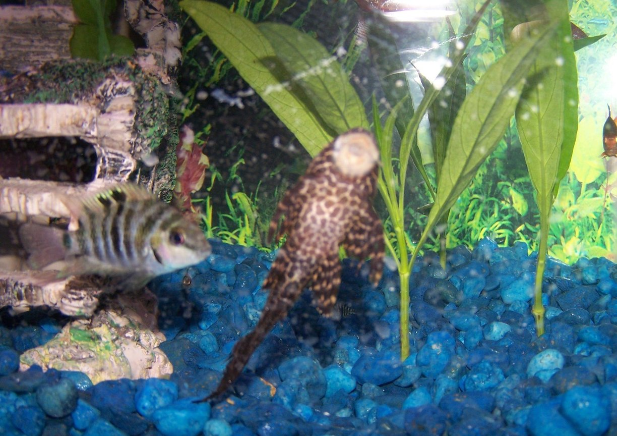 freshwater fish - archocentrus nigrofasciatus - black convict cichlid stocking in 29 gallons tank - My sailfin pleco and my convict and live plants behind them