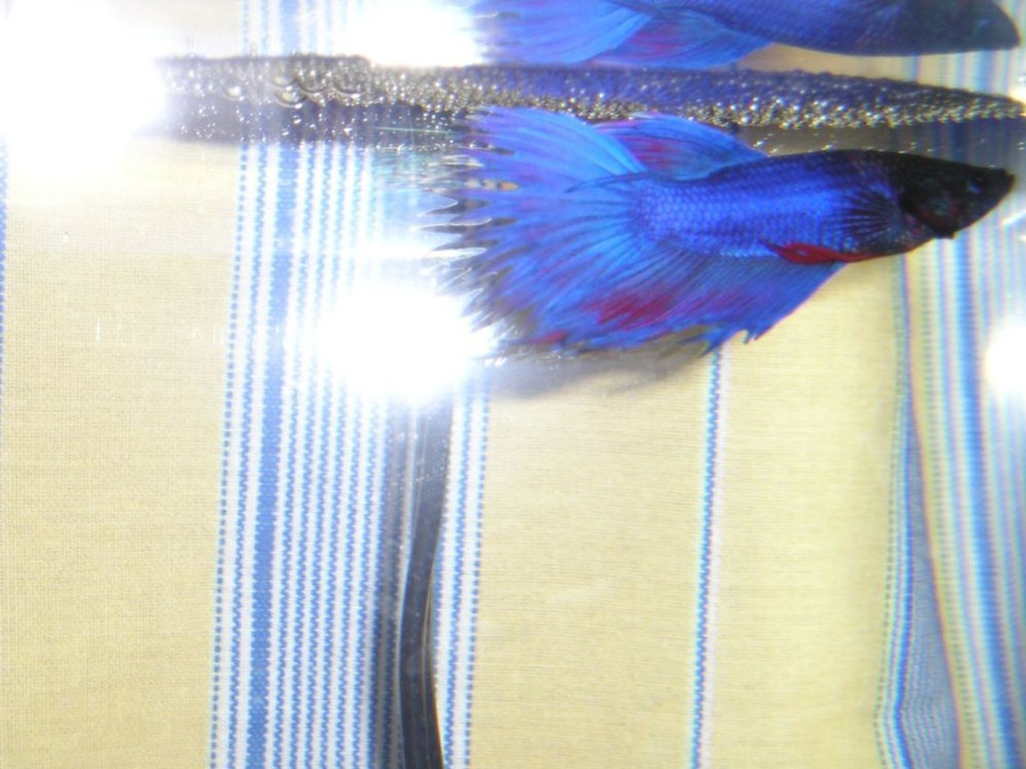 freshwater fish - betta splendens - crown tail betta - Blue & Red Crowntail Betta with his bubble nest