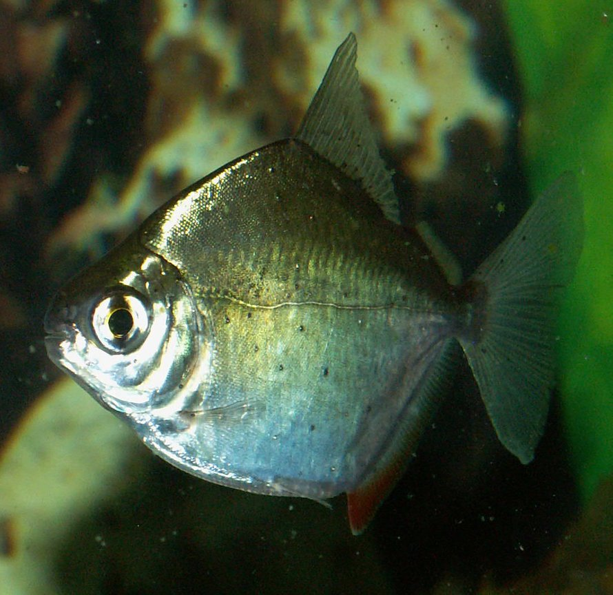 freshwater fish - metynnis argenteus - silver dollar stocking in 110 gallons tank - Silver Dollar
