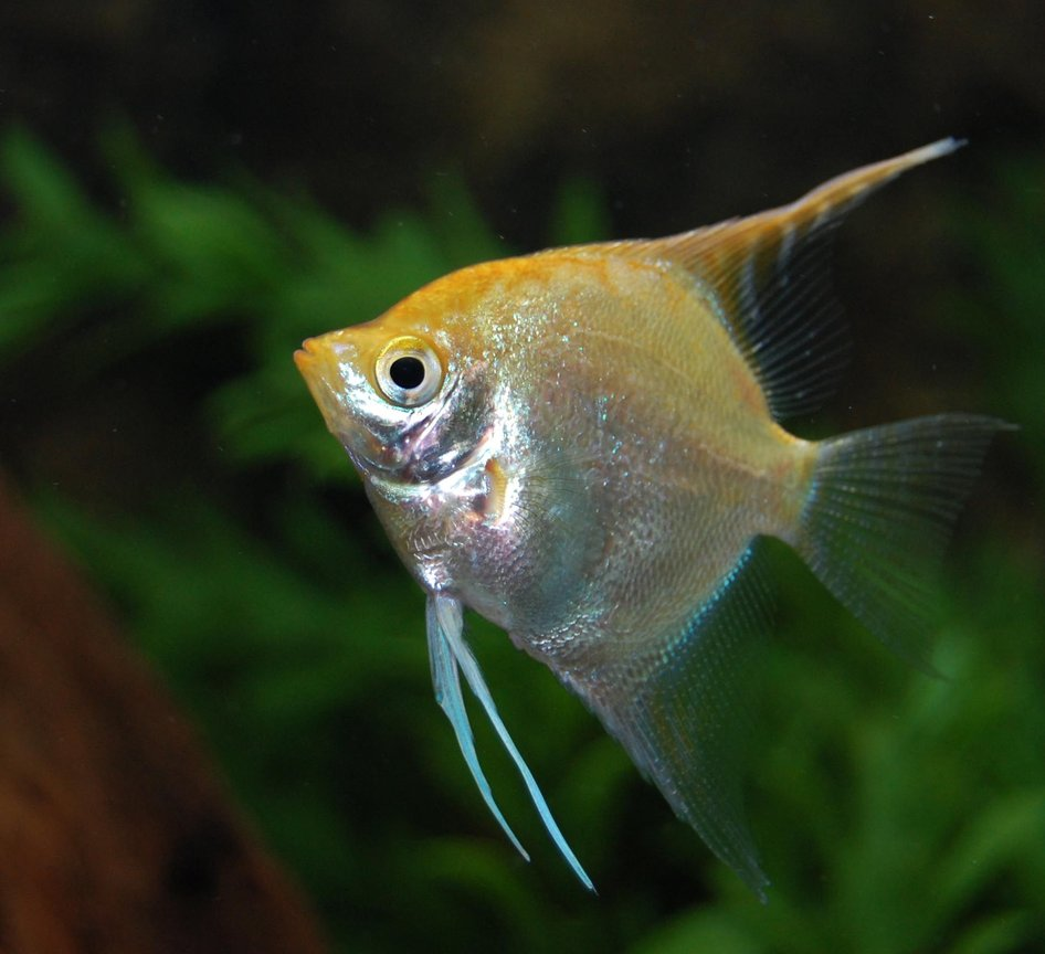 freshwater fish - pterophyllum sp. - gold veil angel stocking in 120 gallons tank - Angel swimming