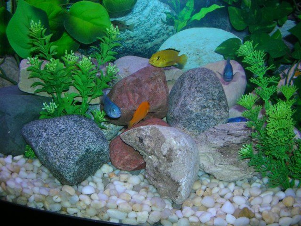 freshwater fish - labidochromis caeruleus - electric yellow cichlid stocking in 46 gallons tank - African Cichlids