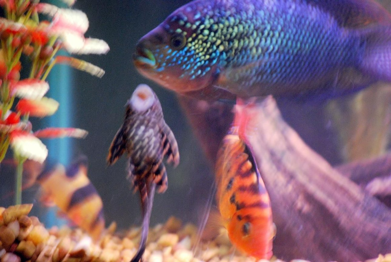 freshwater fish - glyptoperichthys gibbiceps - sailfin pleco (l-83) stocking in 125 gallons tank - The gang