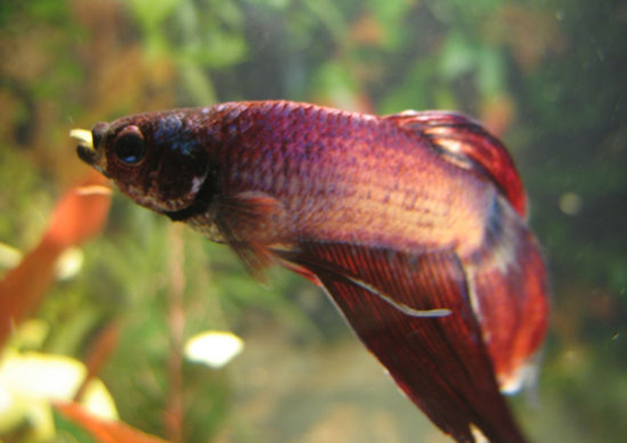 freshwater fish - betta splendens - betta - male stocking in 45 gallons tank - One of my male bettas pigging out in his ten gallon home