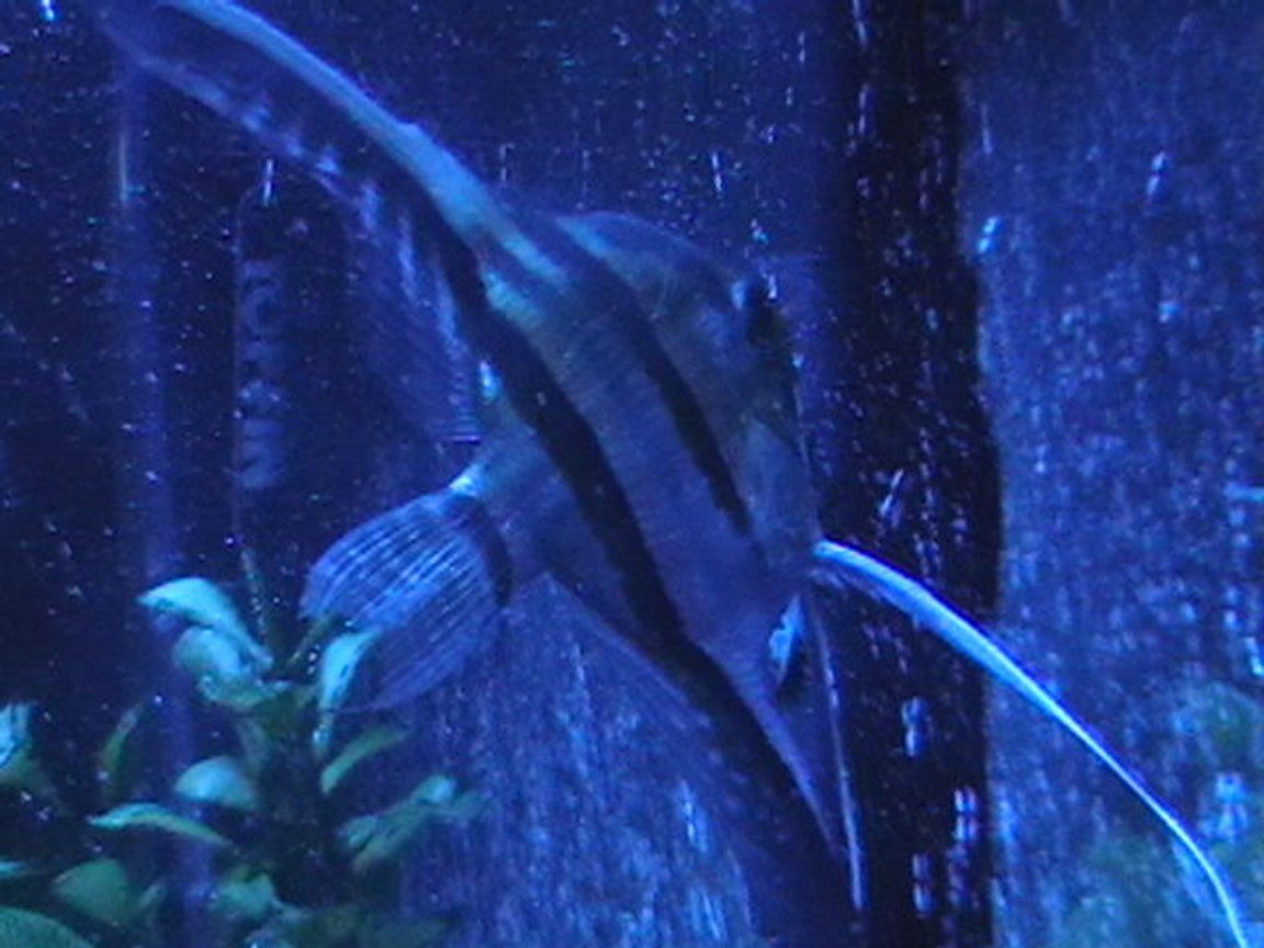 freshwater fish - pterophyllum sp. - silver zebra angel stocking in 29 gallons tank - 2nd Angelfish with lunar lighting.
