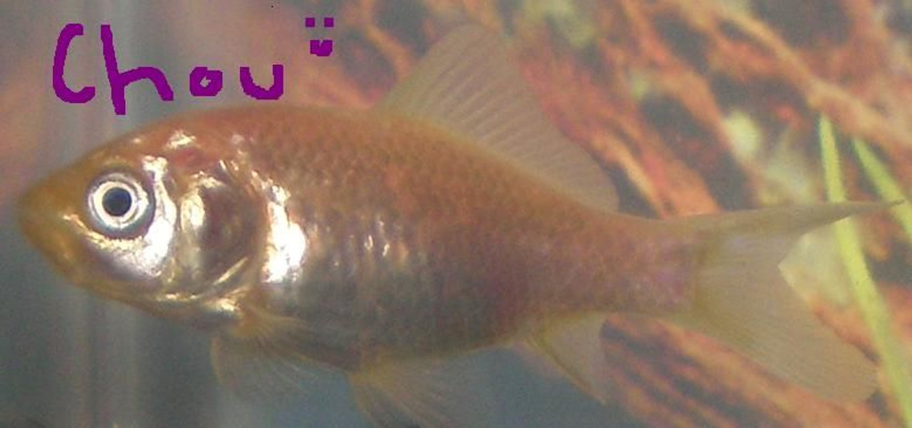 freshwater fish - carassius auratus - goldfish stocking in 10 gallons tank - This is my common Goldfish Chou(French, pronounced shoe)