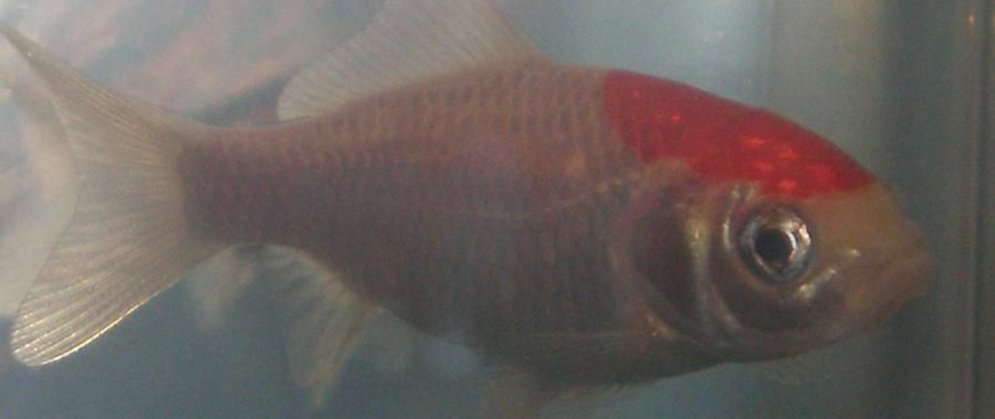 freshwater fish - carassius auratus - fantail goldfish stocking in 10 gallons tank - This is my common Goldfish Dartez.