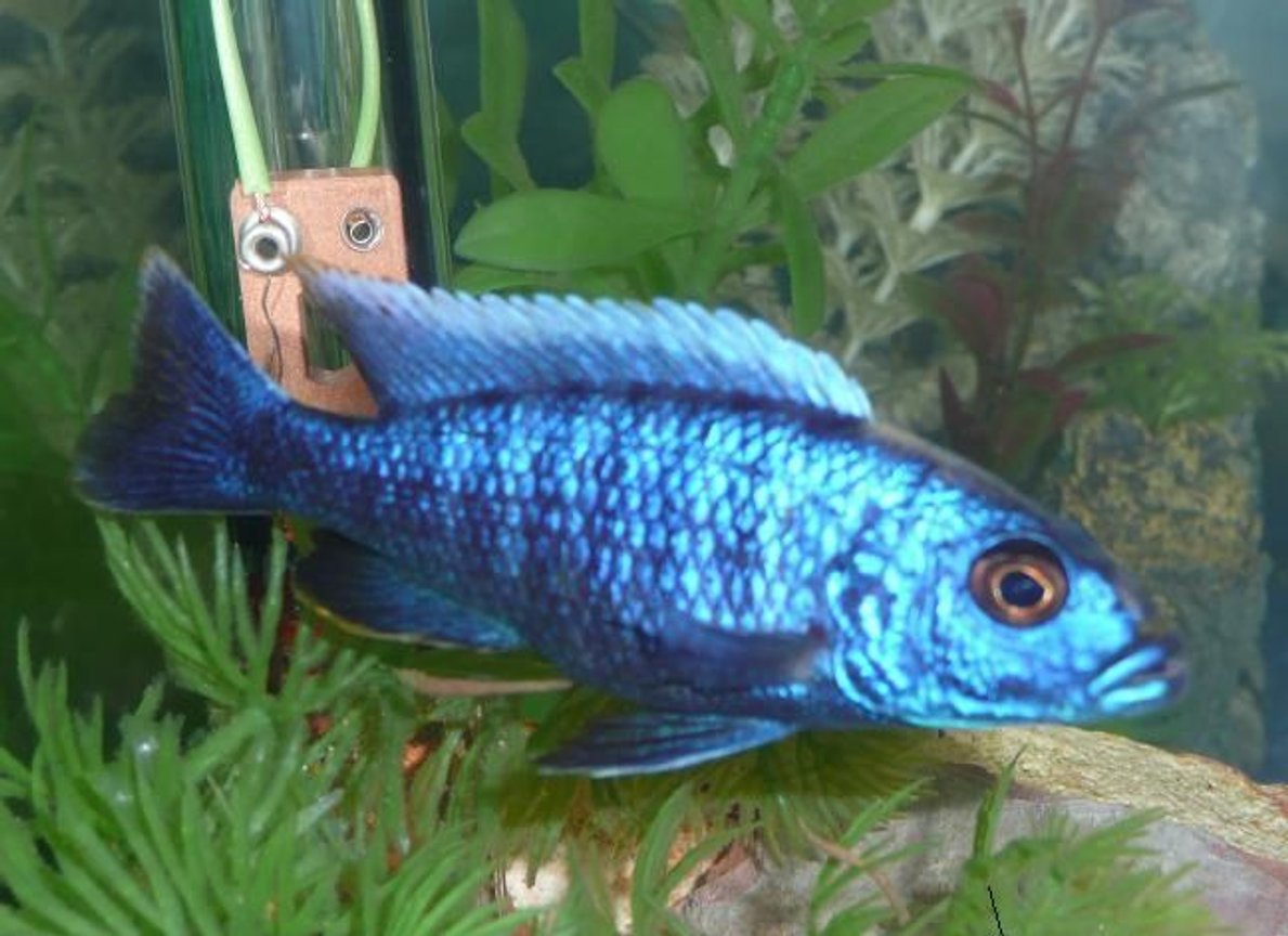 freshwater fish - sciaenochromis ahli - electric blue cichlid stocking in 75 gallons tank - My electric Blue......
