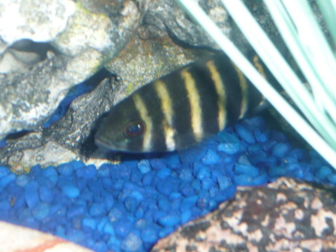 freshwater fish - tilapia butterkofferi - buttikoferi cichlid stocking in 75 gallons tank - Tiliapia.......