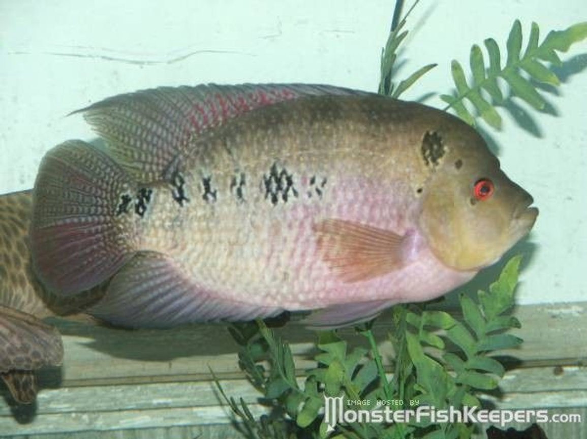 freshwater fish - cichlasoma sp. - flower horn cichlid stocking in 110 gallons tank - 13in Flowerhorn