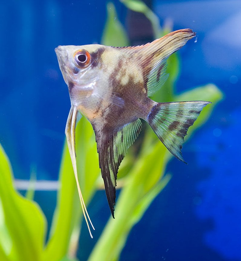 freshwater fish - pterophyllum scalare - half black angelfish stocking in 45 gallons tank - here's a picture of my angelfish.