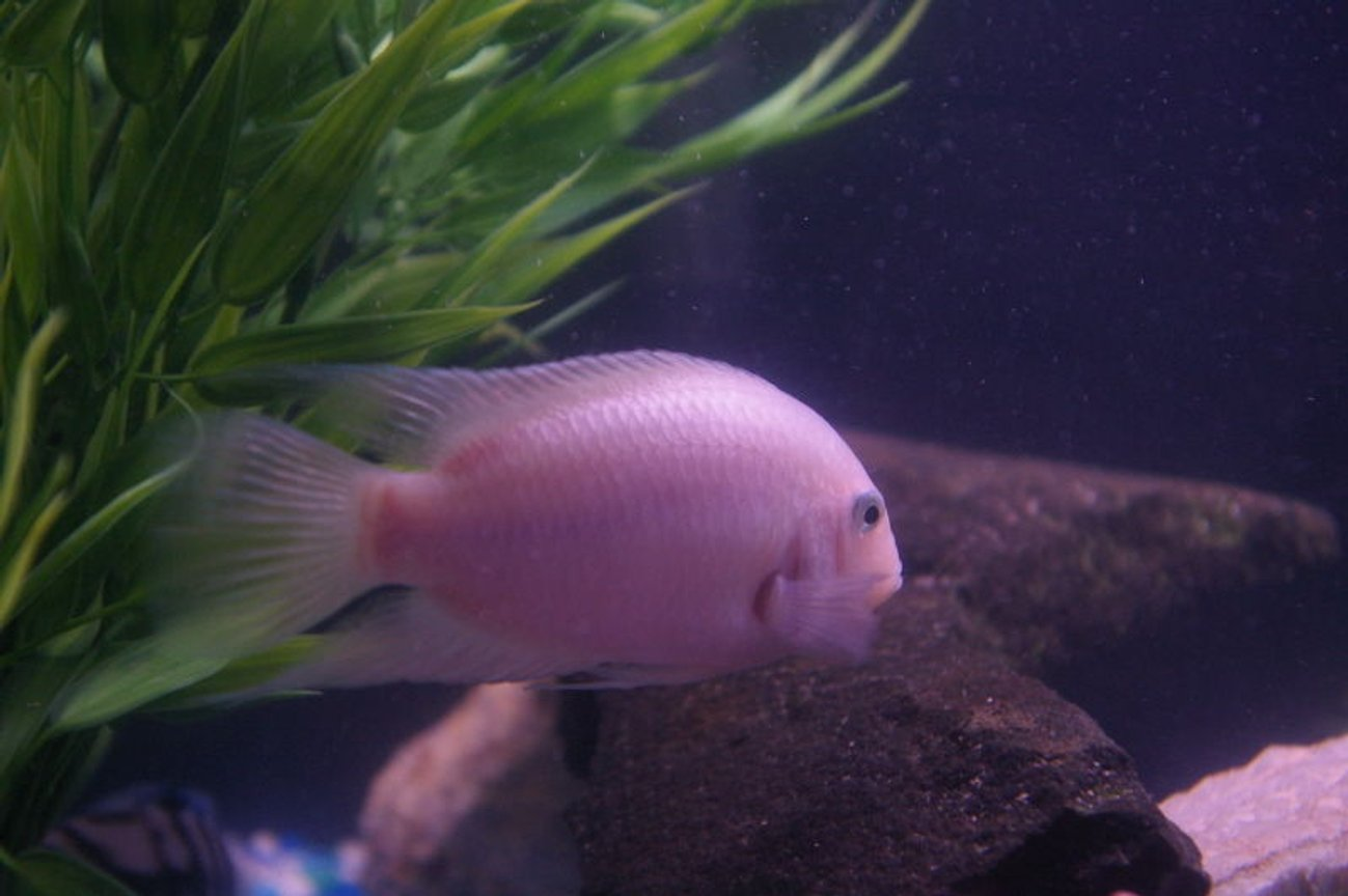 freshwater fish - archocentrus nigrofasciatus - pink convict cichlid stocking in 75 gallons tank - pink convict (father of fry with black convict)