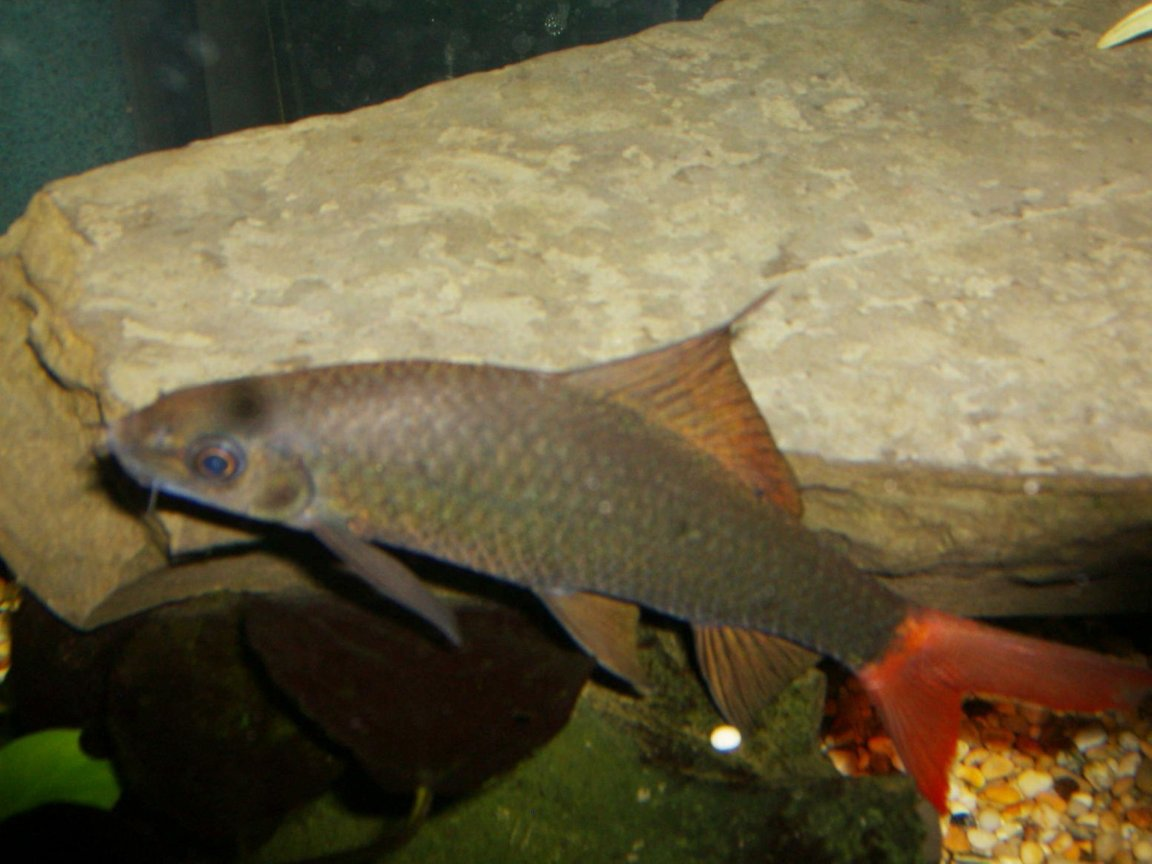 freshwater fish - epalzeorhynchos bicolor - redtail shark stocking in 90 gallons tank - red tail shark in detail
