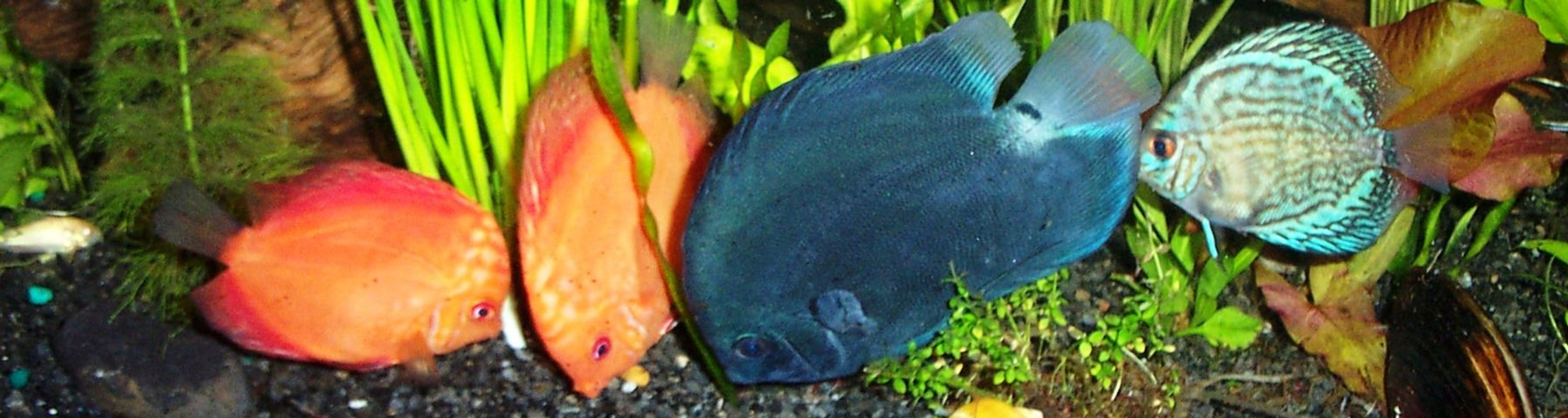 freshwater fish - symphysodon sp. - blue diamond discus stocking in 125 gallons tank - another pic of my dicus