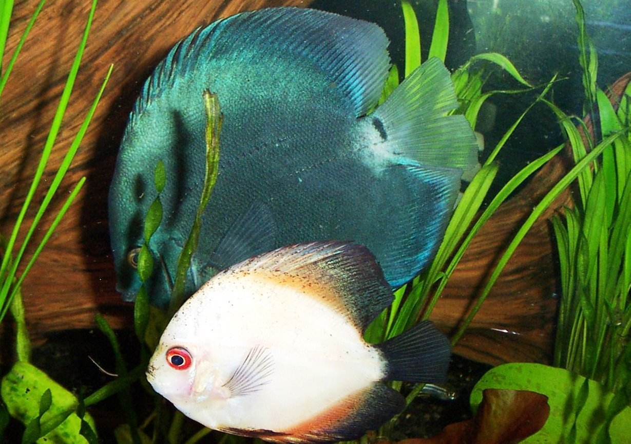 freshwater fish - symphysodon sp. - white discus stocking in 125 gallons tank - blue diamond in back, immature pigeon blood upfront. (Symphysodon aequifaciatus) in this one you can really see the size difference between the young discus and the fully mature blue diamond