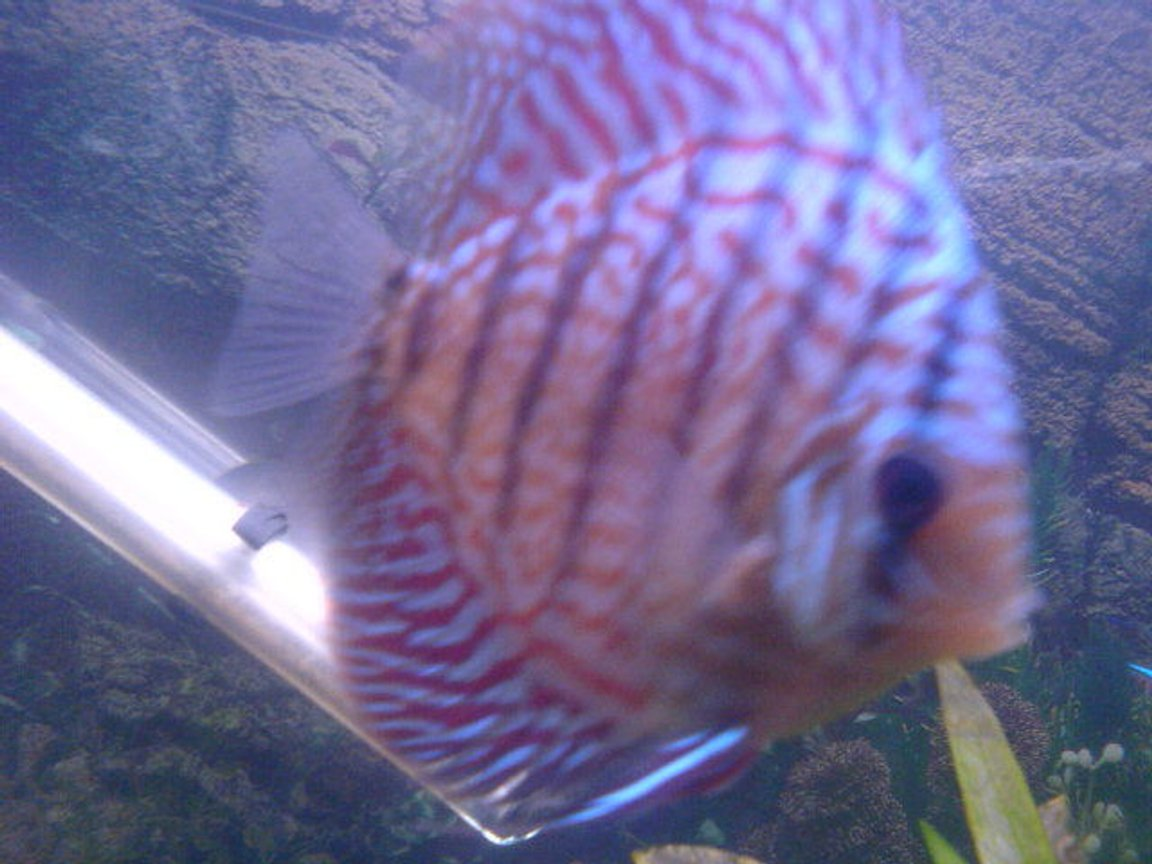 freshwater fish - symphysodon spp. - snakeskin discus stocking in 200 gallons tank - 1 of my discus
