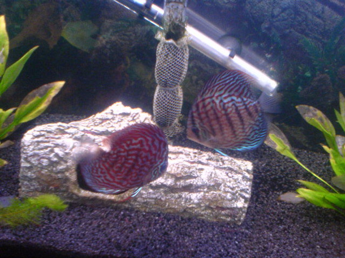 freshwater fish - symphysodon spp. - red turquoise discus stocking in 200 gallons tank - 2 of my discus