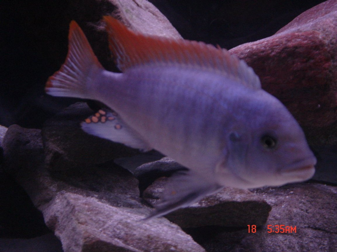 freshwater fish - metriaclima greshakei - ice blue red top zebra stocking in 125 gallons tank - Red Top