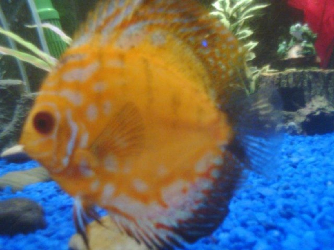 freshwater fish - symphysodon spp. - pigeon blood discus stocking in 75 gallons tank - Nice discus