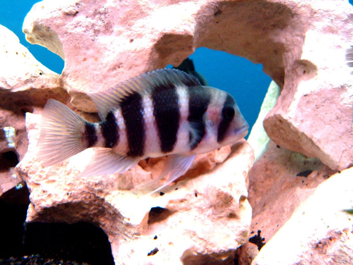 freshwater fish - cyphotilapia frontosa - frontosa cichlid stocking in 138 gallons tank - frontosa