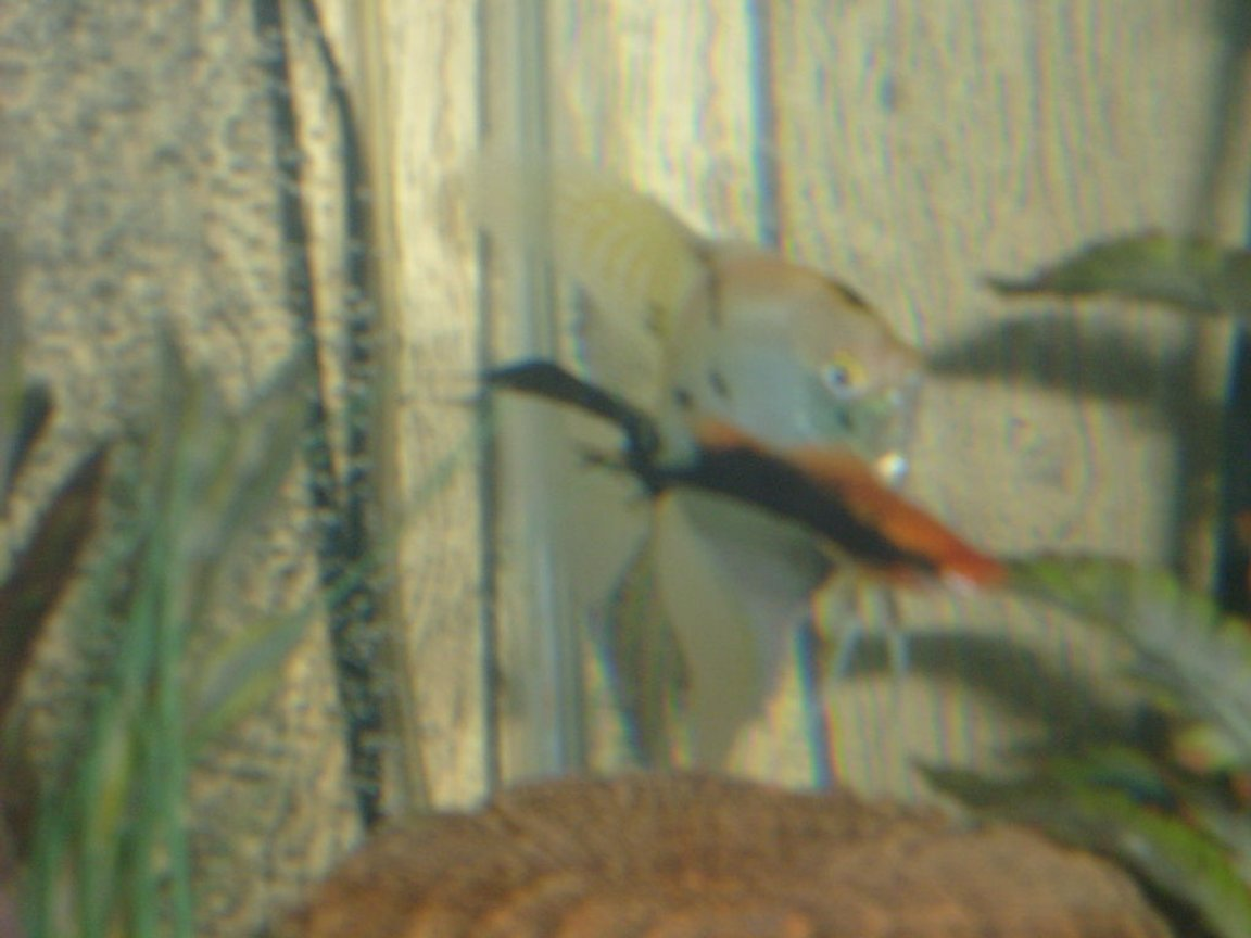 freshwater fish - pterophyllum sp. - koi angel stocking in 65 gallons tank - Female Angle fish and a male sword tail