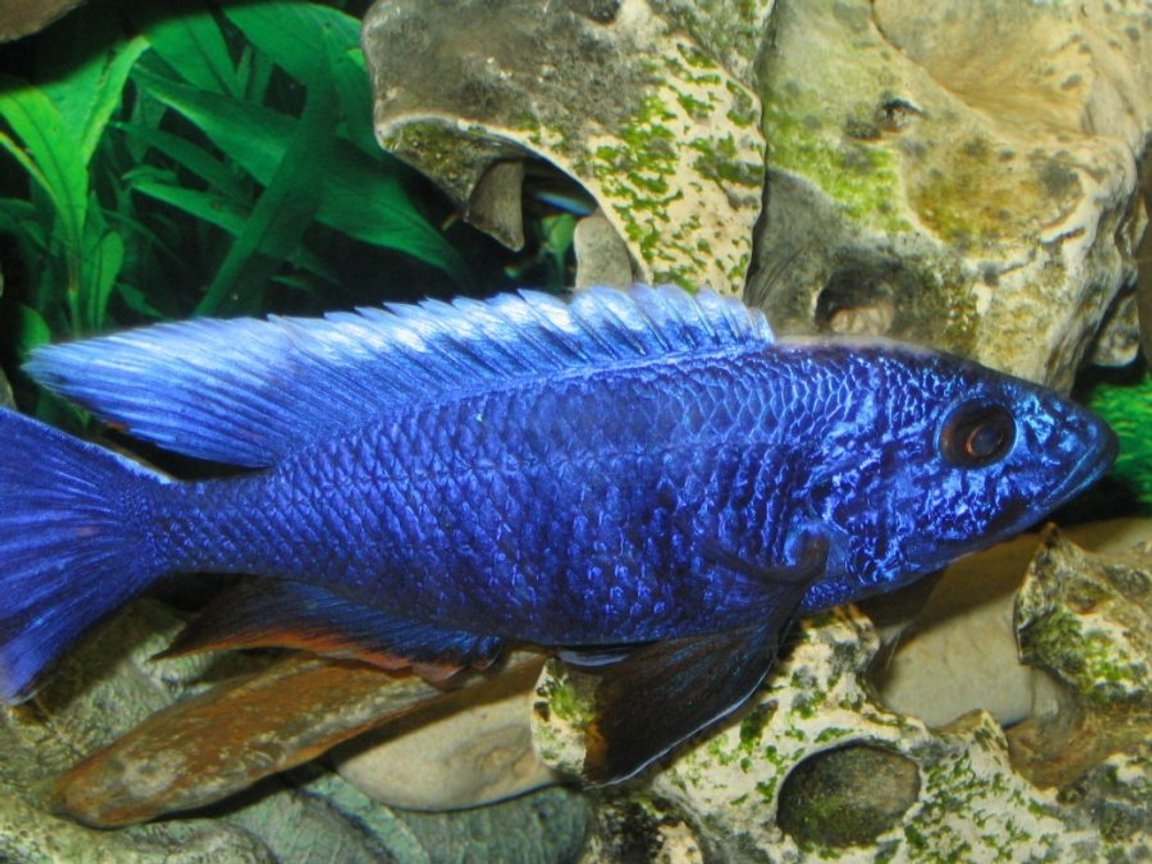 freshwater fish - sciaenochromis fryeri - electric blue hap stocking in 55 gallons tank - An African Cichlid -Haplochromis Ahli close up shot.