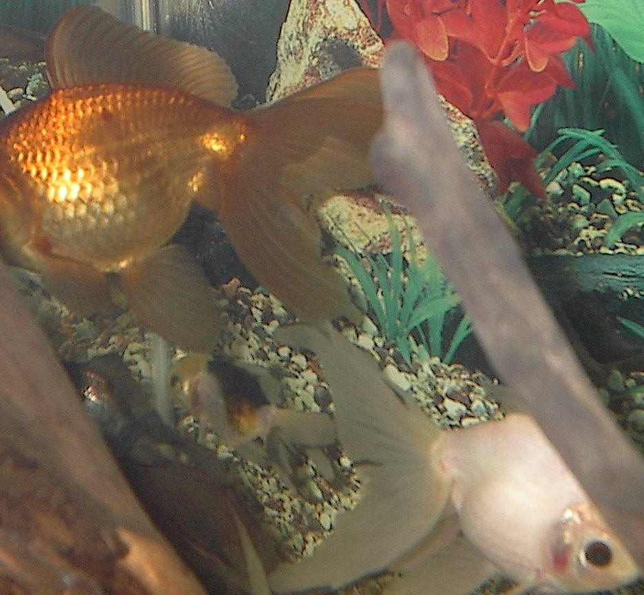 freshwater fish - carassius auratus - red oranda goldfish stocking in 44 gallons tank - look its hide-and-go-seek!!